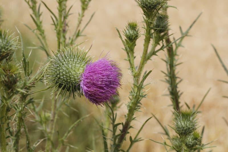 Blommor i ett kornfält arkivbild