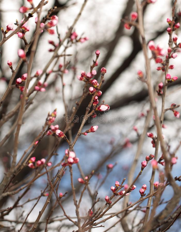 Blommor i knopparna på en trädfilial royaltyfri fotografi