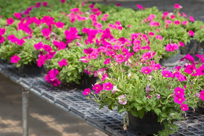 Blommor i krukor på försäljning i växtbarnkammare royaltyfri fotografi