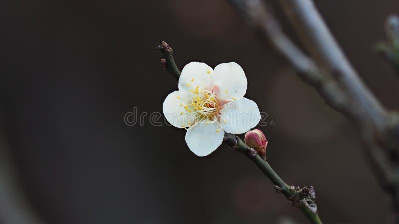 Blommor i vårserier: den vita plommonet som blomstrar i våren, är det den enda resterande sista vinterblomman, är den tidigaste b royaltyfri bild