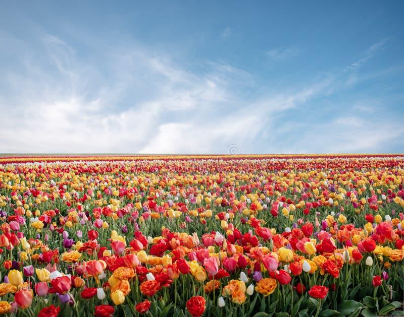 Blommor i v?r parkerar Blommalandskap Den f?rgrika tulpan blommar i v?r parkerar arkivfoto