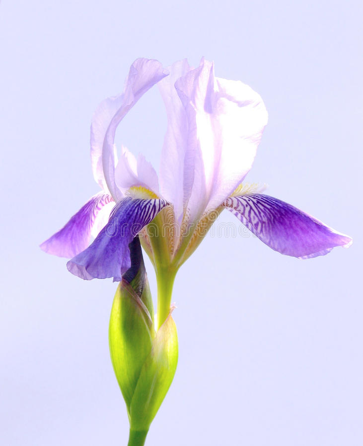 blommor iris purple arkivbilder