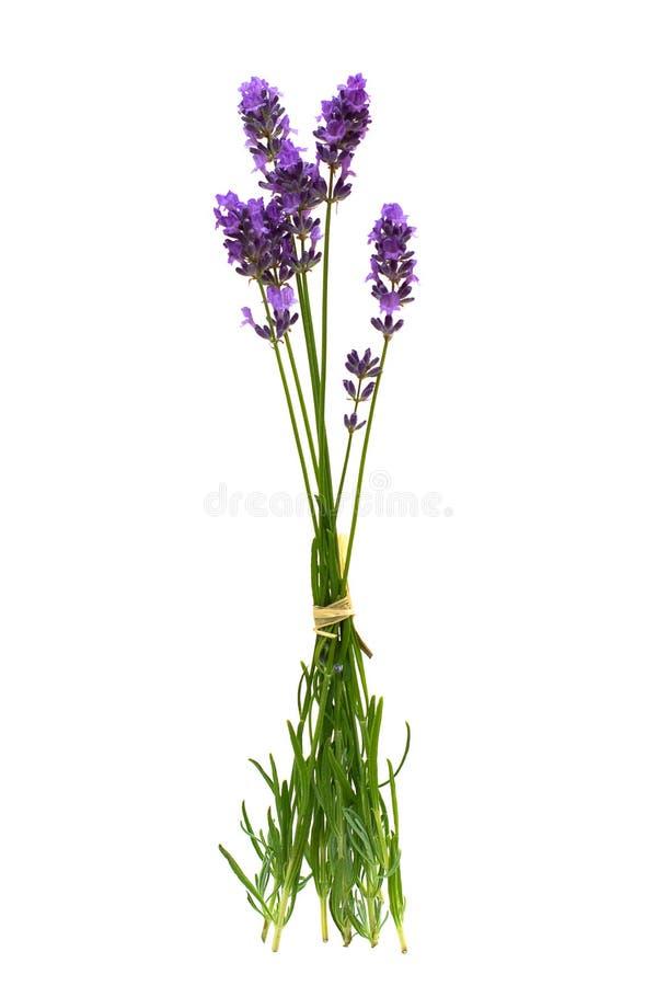 blommor isolerade lavendelwhite royaltyfria foton