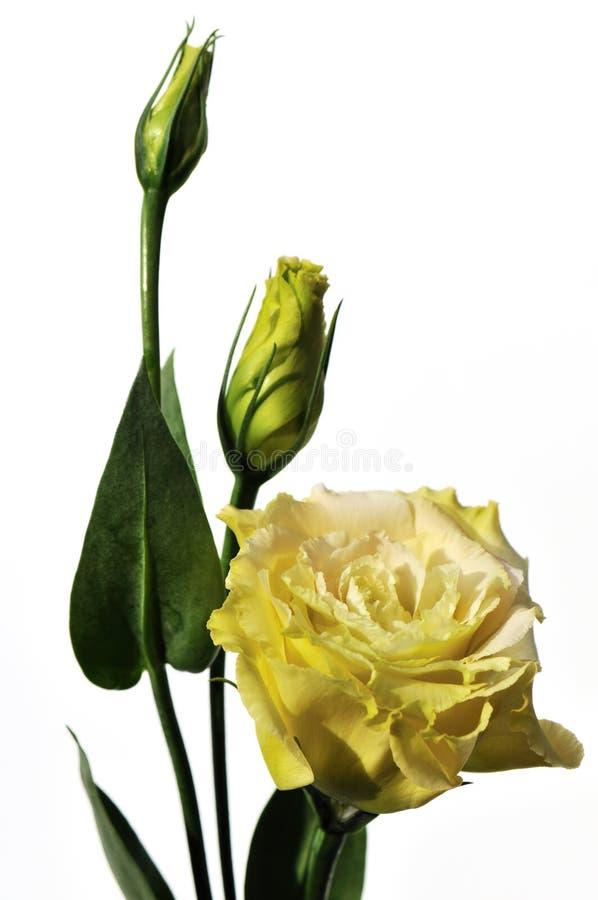 blommor isolerade lisianthuswhite royaltyfri bild