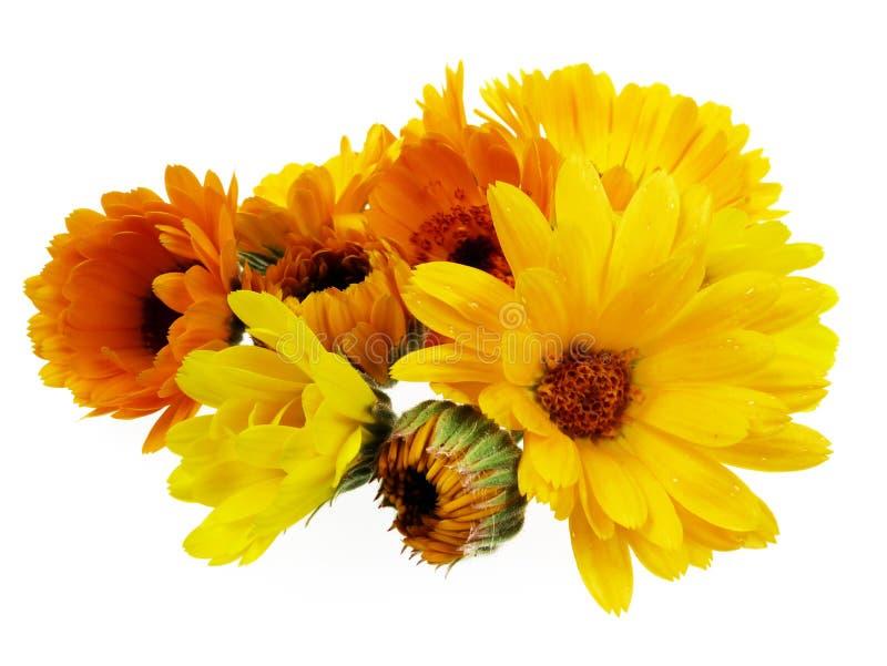 blommor isolerade ringblommakrukan royaltyfria bilder