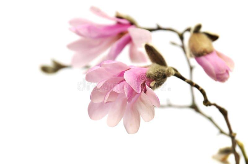 blommor isolerade rosa white för magnolia royaltyfria bilder