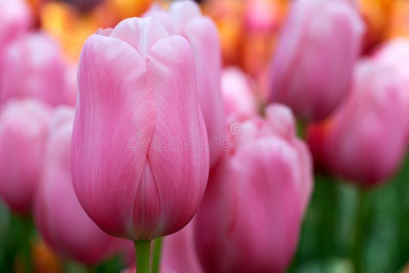 Blommor Keukenhof, rosa tulpan arkivfoton