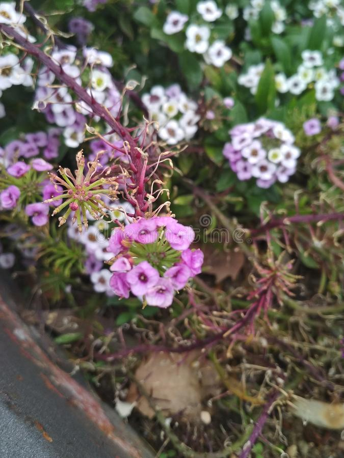 blommor little royaltyfria bilder