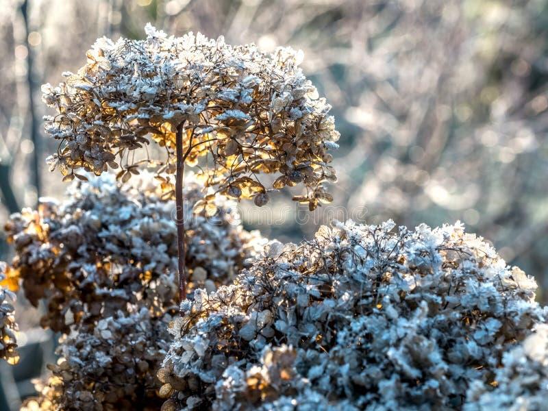 Blommor med frosttäckt hortensia arkivbild