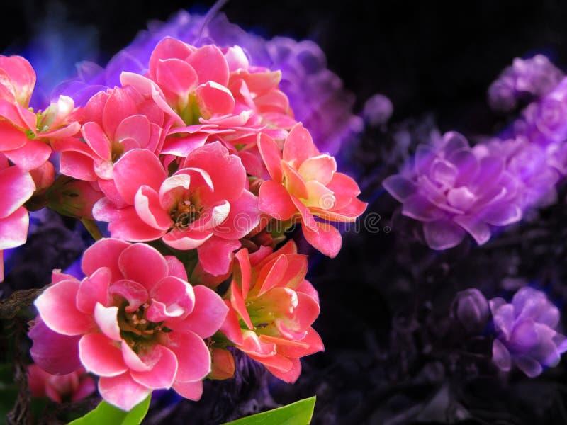 Blommor med vita och rosa kronblad och gröna sidor på abstrakt bakgrund i svarta, blåa och purpurfärgade färger arkivfoto