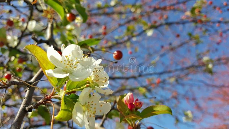 Blommor och bär stänger sig upp i ett träd i höst fotografering för bildbyråer