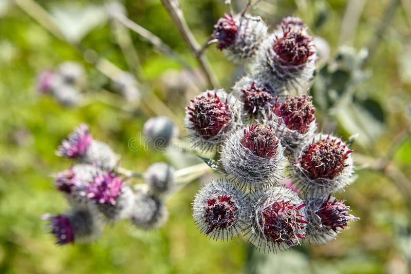 Blommor och frö av större kardborre, närbild fotografering för bildbyråer