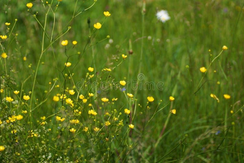 Blommor och gräs tände vid varmt solbelyst på en sommaräng, naturliga bakgrunder för abstrakt begrepp för din design royaltyfria foton