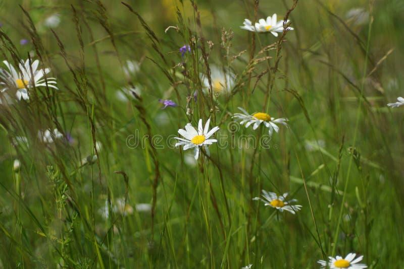 Blommor och gräs tände vid varmt solbelyst på en sommaräng, naturliga bakgrunder för abstrakt begrepp för din design royaltyfri bild