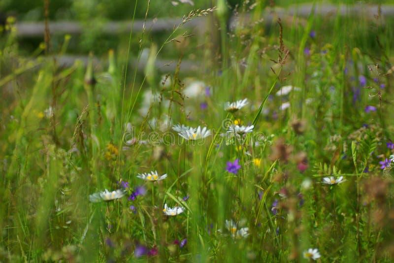 Blommor och gräs tände vid varmt solbelyst på en sommaräng, naturliga bakgrunder för abstrakt begrepp för din design arkivfoto
