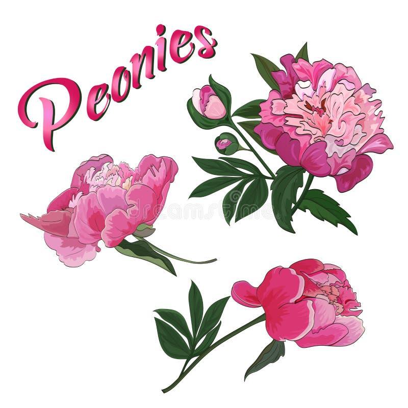 Blommor och knoppar av den rosa pionen på en vit bakgrund vektor stock illustrationer