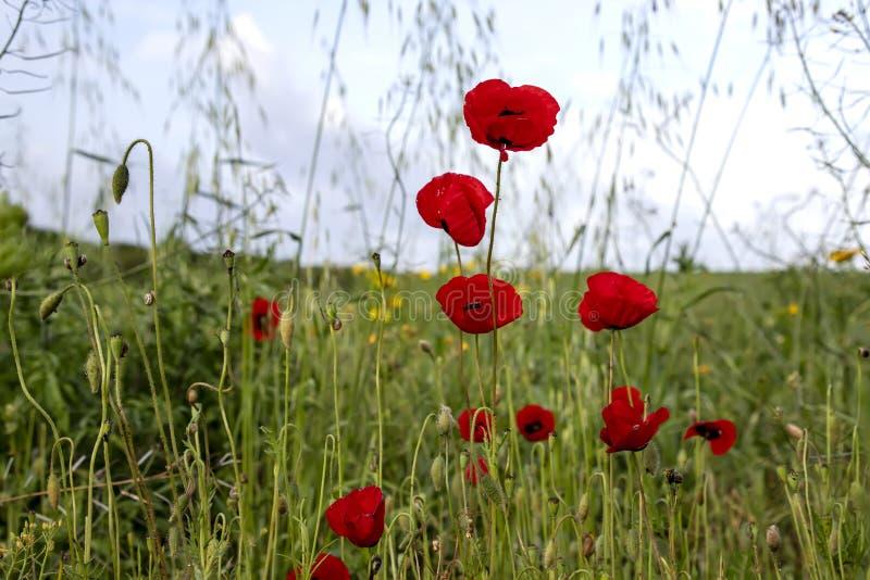 Blommor och knoppar av röda vallmo i ängen suddighet bakgrund himmel i molnen fotografering för bildbyråer