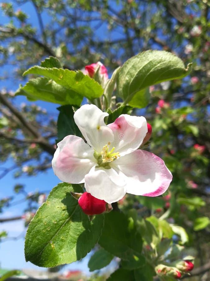 blommor och knoppar på en filial på våren, Apple träd royaltyfri fotografi
