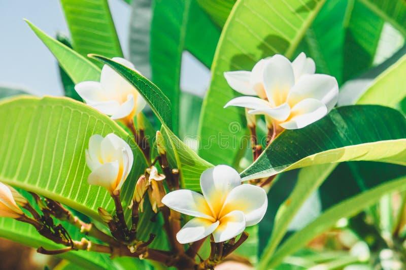 Blommor och sidor av den vita frangipanien Röda plumeriablommor arkivfoto