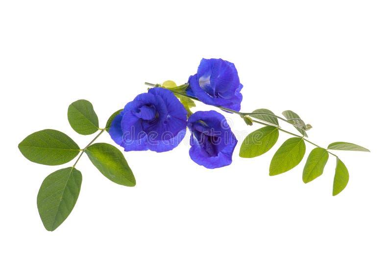 Blommor och sidor för fjärilsärta royaltyfri fotografi