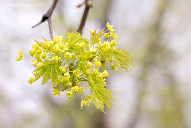 Blommor och sidor för lönnträd arkivbild