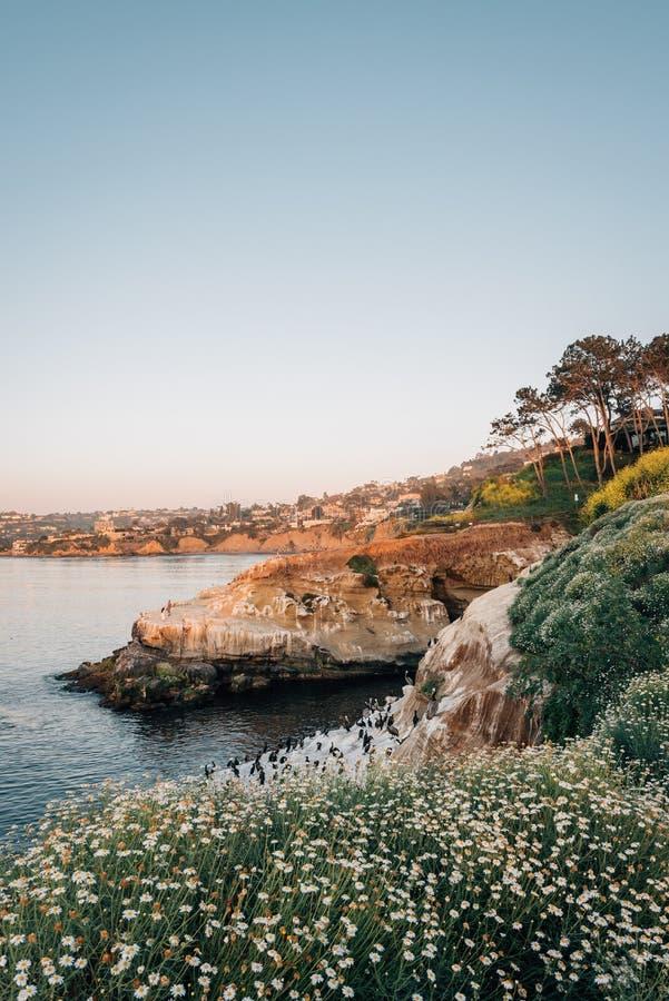 Blommor och stenig kust p? solnedg?ngen, i La Jolla, San Diego, Kalifornien royaltyfri bild