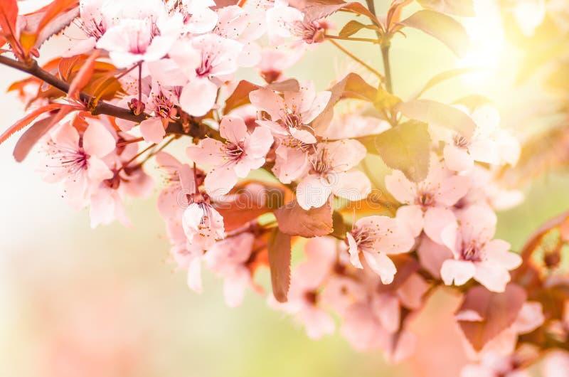 Blommor och unga sidor av körsbärsröda wood sakura royaltyfria foton