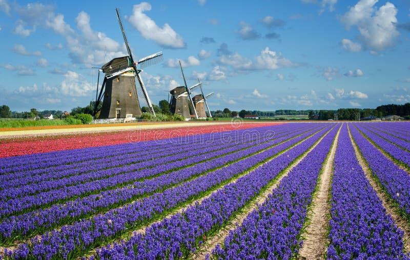 Blommor och väderkvarnar i Holland royaltyfri bild