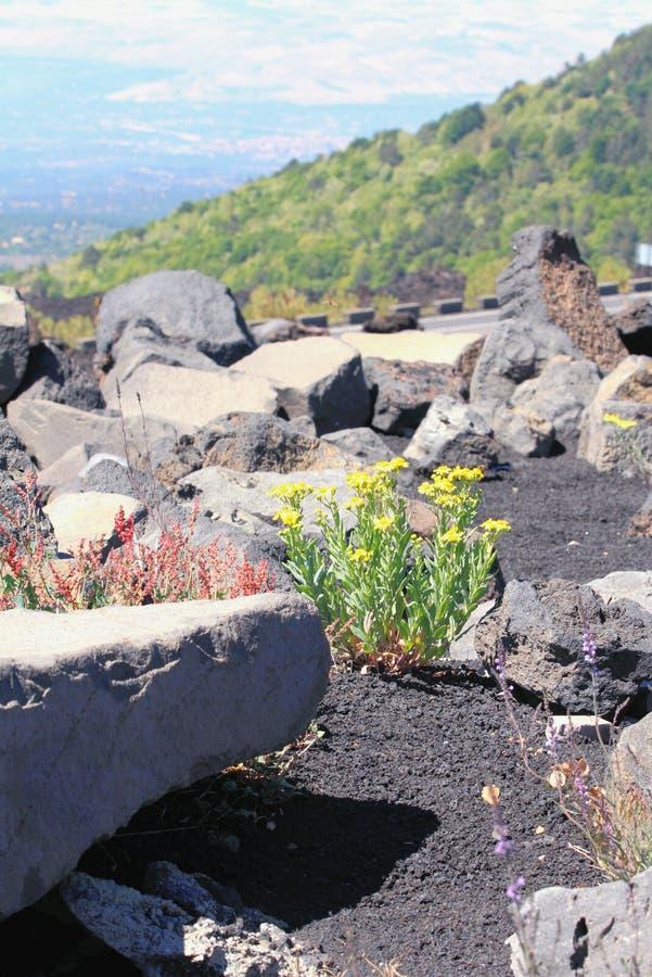 Blommor och vulkanisk lava bland stenar etna italy sicily royaltyfria bilder
