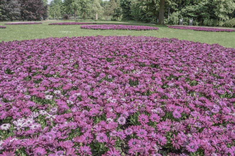 Blommor på Amstelparken Amsterdam Nederländerna 2018 royaltyfri foto