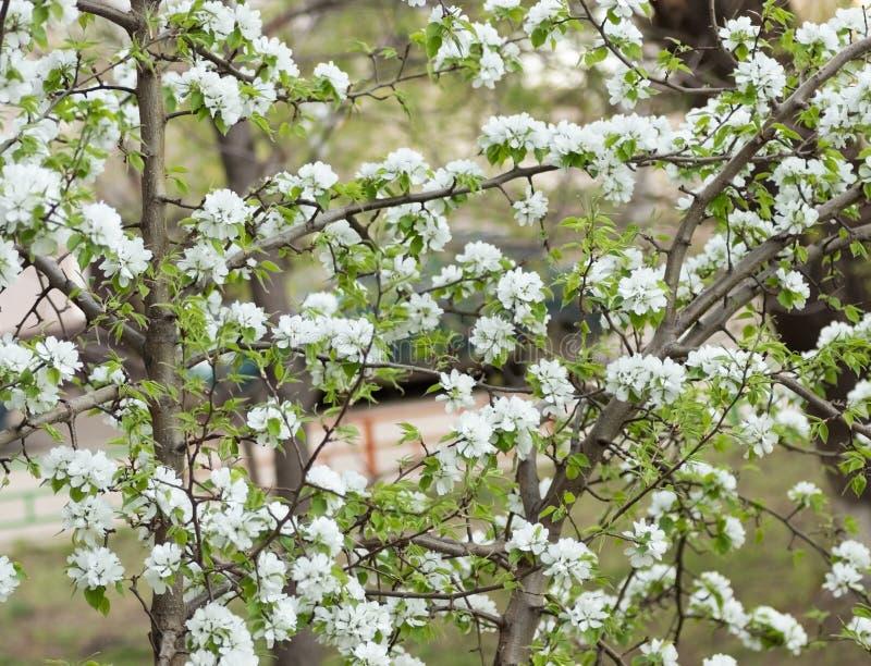 Blommor på ett Apple träd i en blommande sommarträdgård arkivbild
