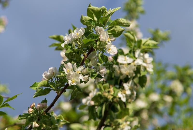 Blommor på ett fruktträd i vår fotografering för bildbyråer