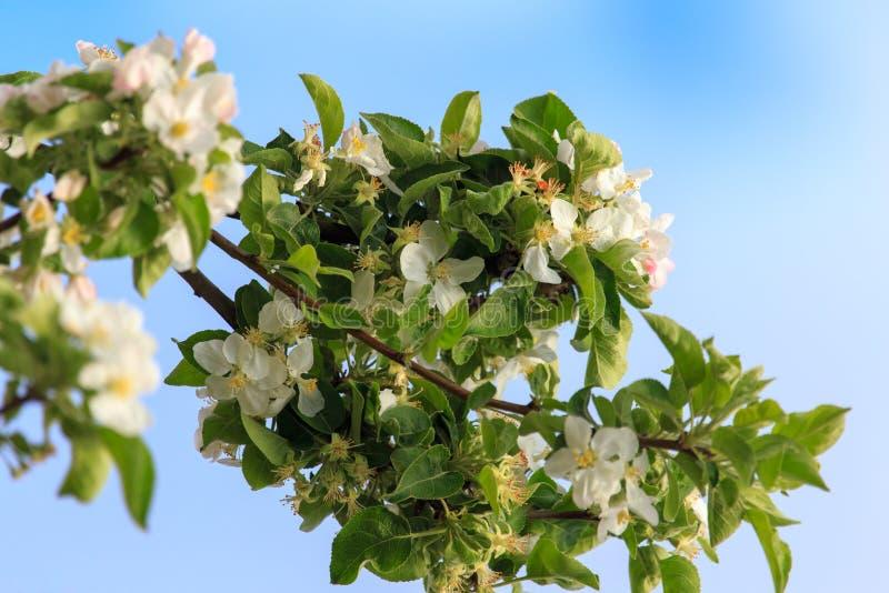 Blommor på ett fruktträd i vår arkivfoto