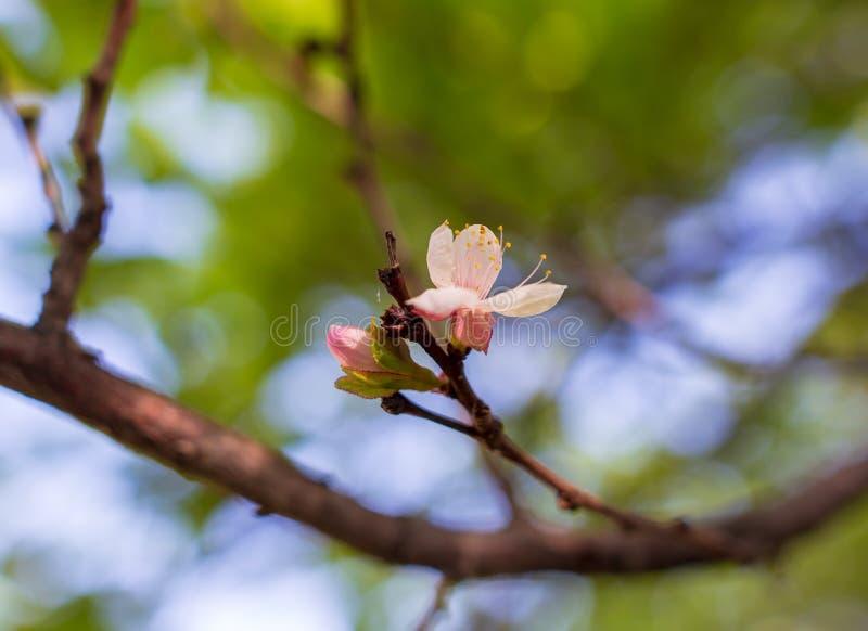 Blommor på ett fruktträd i vår arkivbild