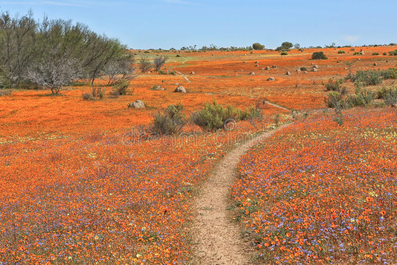 Blommor på namaquanationalparken royaltyfri foto