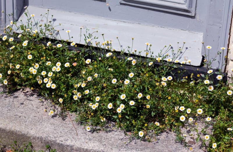 Blommor på tröskeln - råg - UK royaltyfri bild