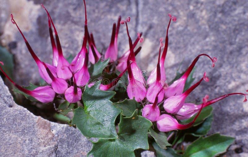 Blommor på vagga (physoplexiscomosaen) arkivfoton