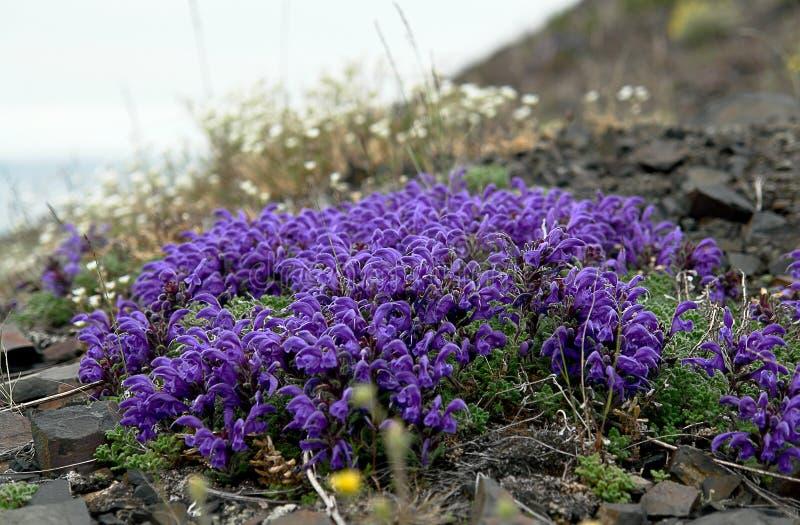 Blommor Pedicularis i tundran royaltyfria bilder