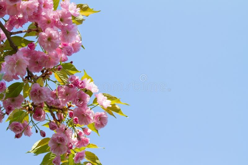 blommor rosa sakura Abstrakt vårblomningbakgrund Vår arkivbilder