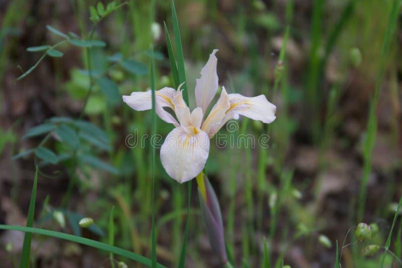 Blommor Shiloh Ranch Regional Park i sydostliga Windsor presenterar ett ojämnt landskap i utlöparen av de Mayacamas bergen arkivbild