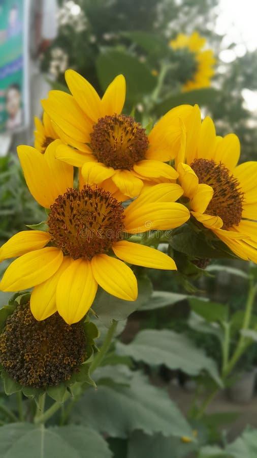 Blommor som blommar det frodiga solrosbladet arkivbild