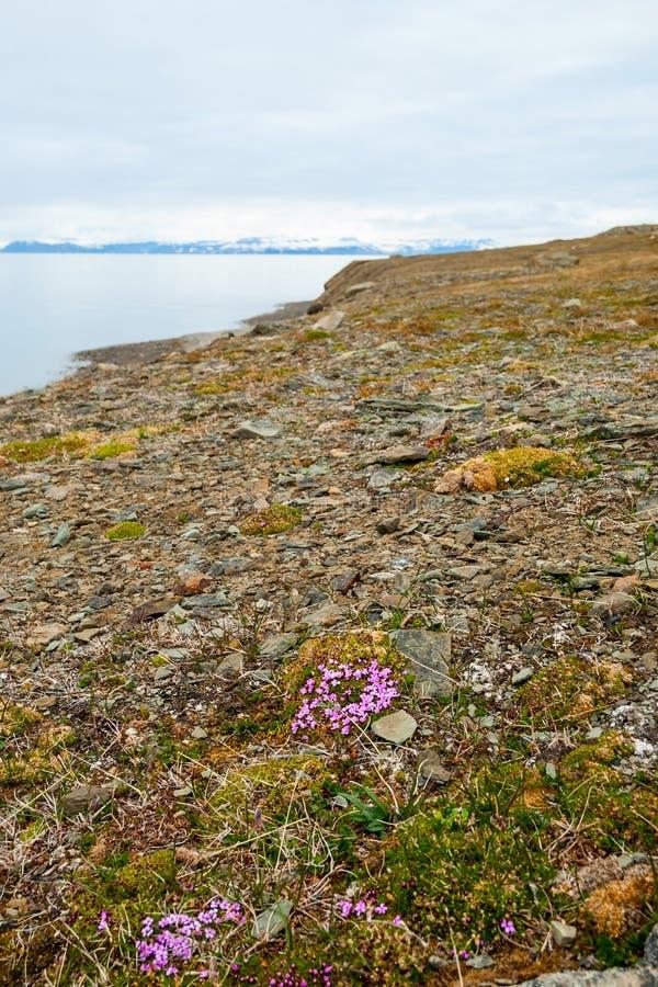 Blommor som blomstrar i den arktiska tundran i sommar, Svalbard royaltyfria bilder
