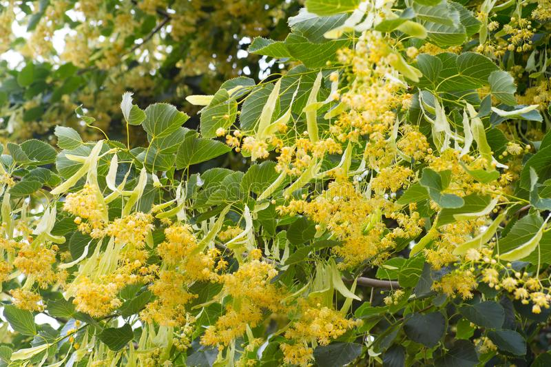 Blommor som blomstrar trädlindträ som används för förberedelsen av royaltyfri bild