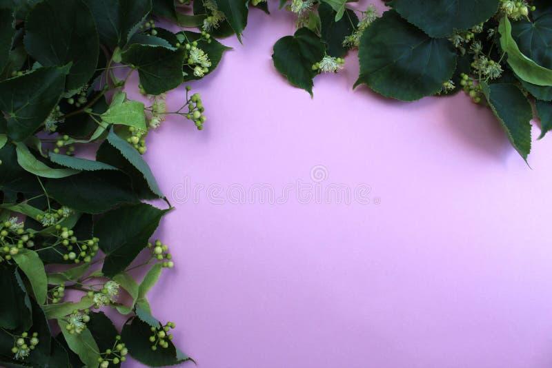 Blommor som blomstrar trädlindträ som används för förberedelsen av att läka te arkivfoton