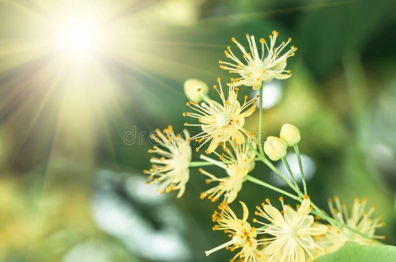 Blommor som blomstrar trädlindträdet, vår royaltyfri fotografi