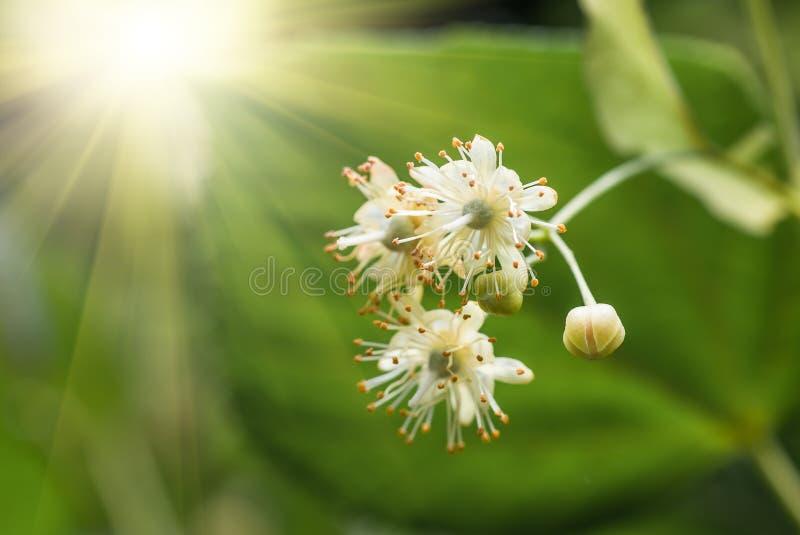 Blommor som blomstrar trädlindträdet, vår royaltyfria bilder