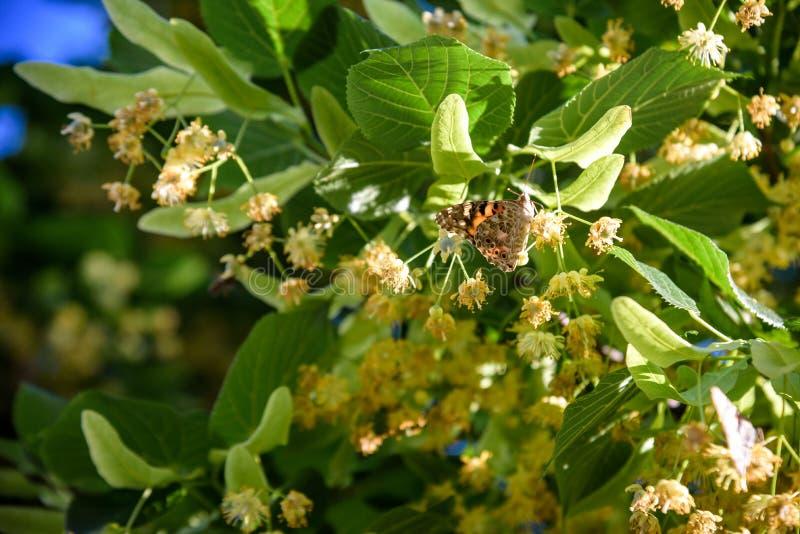 Blommor som blomstrar tr?dlindtr? som anv?nds f?r f?rberedelsen av att l?ka te, naturlig bakgrund, v?r royaltyfria bilder