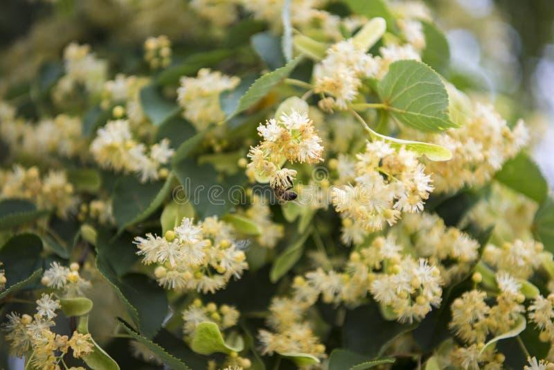 Blommor som blomstrar tr?dlindtr? som anv?nds f?r f?rberedelsen av att l?ka te, naturlig bakgrund, v?r arkivbild