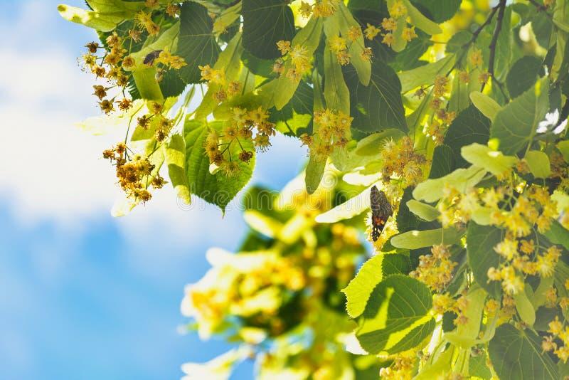 Blommor som blomstrar tr?dlindtr? som anv?nds f?r f?rberedelsen av att l?ka te, naturlig bakgrund, v?r royaltyfria foton