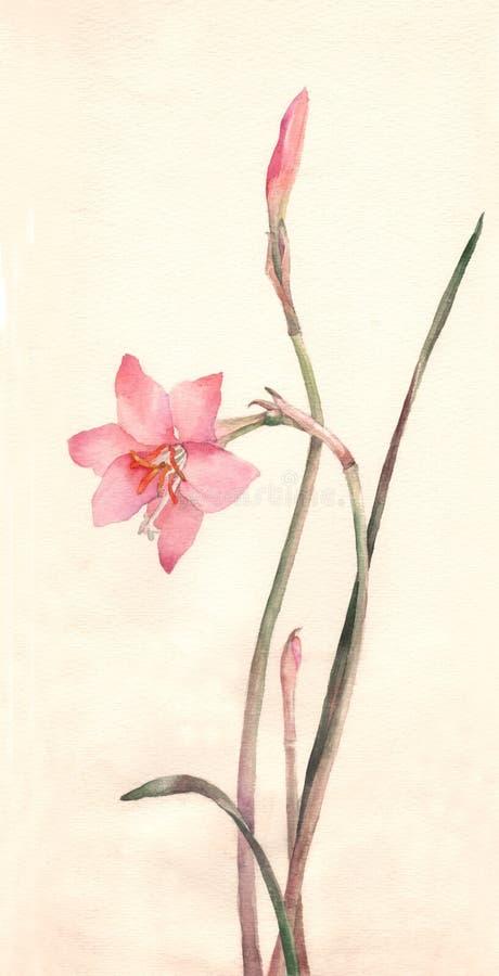 blommor som målar vattenfärgzephyranthes royaltyfri illustrationer